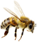 زنبور | bee
