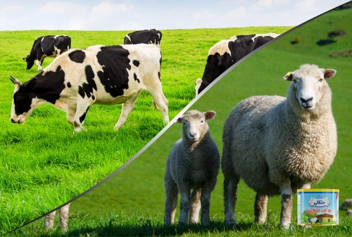 Cow or sheep butter ghee?| روغن حیوانی گاوی یا گوسفندی؟